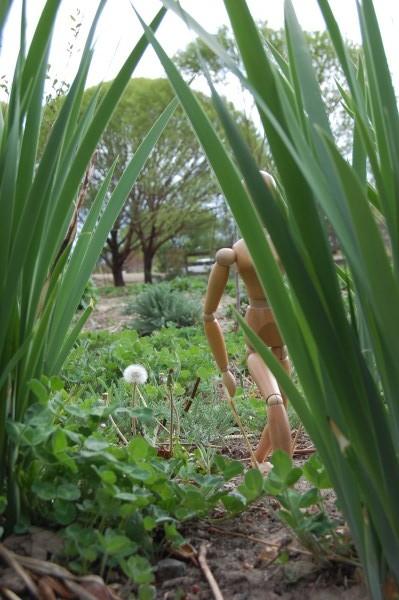 Sasquatch goes quietly past the dandelion
