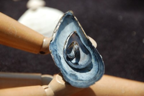 mussels-nested-DSC_0510 (600 x 399)