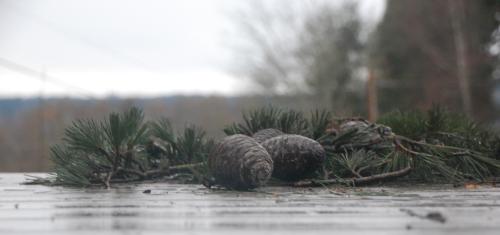 Pinecones - 16-rain